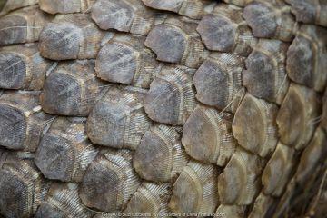 Close up of Sunda pangolin (Manis javanica) scales. Singapore Night Safari, Singapore. Captive.