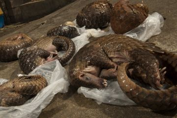 Six Sunda pangolins (Manis javanica) seized from a commercial tenant's rental house during an operation by the forest police. Conghua market, Guangzhou, Guangdong, China.