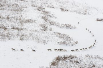 Canadian timber wolf / Northwestern wolf (Canis lupus occidentalis) pack moving through snow, Wood Buffalo National Park, Alberta, Canada. Taken on location for BBC Frozen Planet, March 2009.