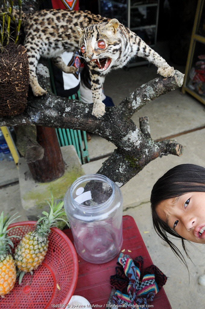 Young girl with a stuffed leopard cat (Prionailurus bengalensis) at Bac Ha Market, Vietnam.