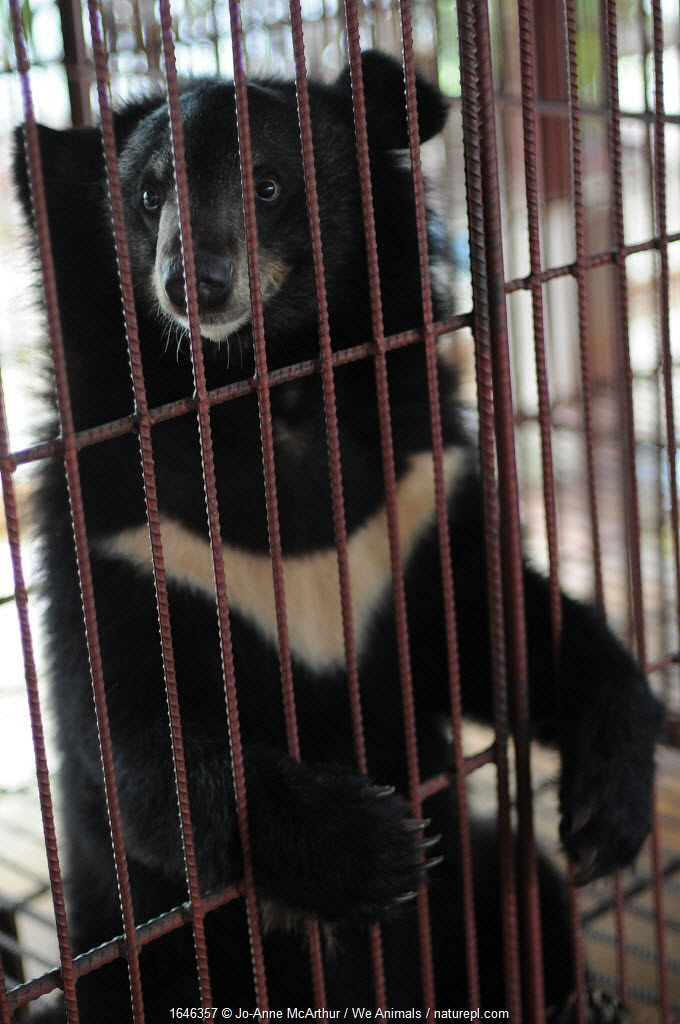 Asiatic moon bear in a bear bile farm, Laos. Bile is extracted from the gall bladder of this species,for use in traditional Chinese Medicine.
