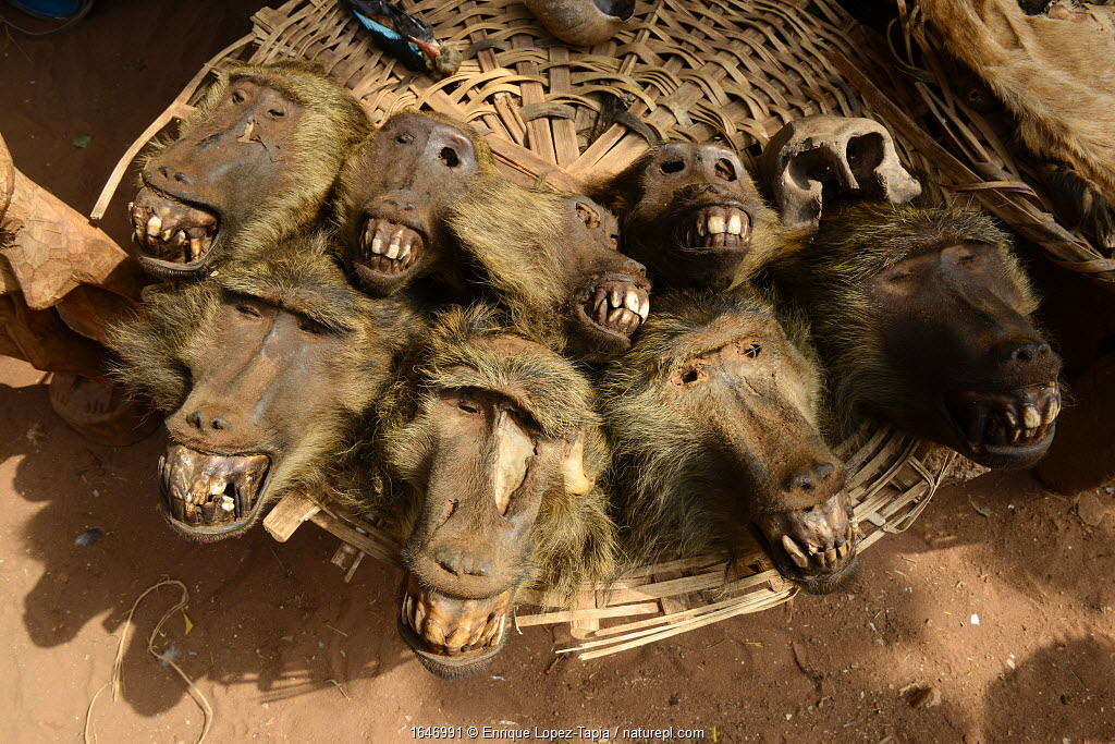 Heads of Olive baboon (Papio anubis) for sale at the voodoo market in Abomey, Benin, West Africa. Any wild animal that runs, flies, jumps or crawls is hunted to supply these markets for voodoo ceremonies.