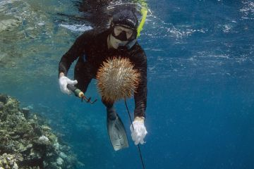 Crown-of-thorns Starfish (Acanthaster planci) group being removed by Marlen Zigler, since the starfish is detrimental to the coral reef, Koro Island, Fiji