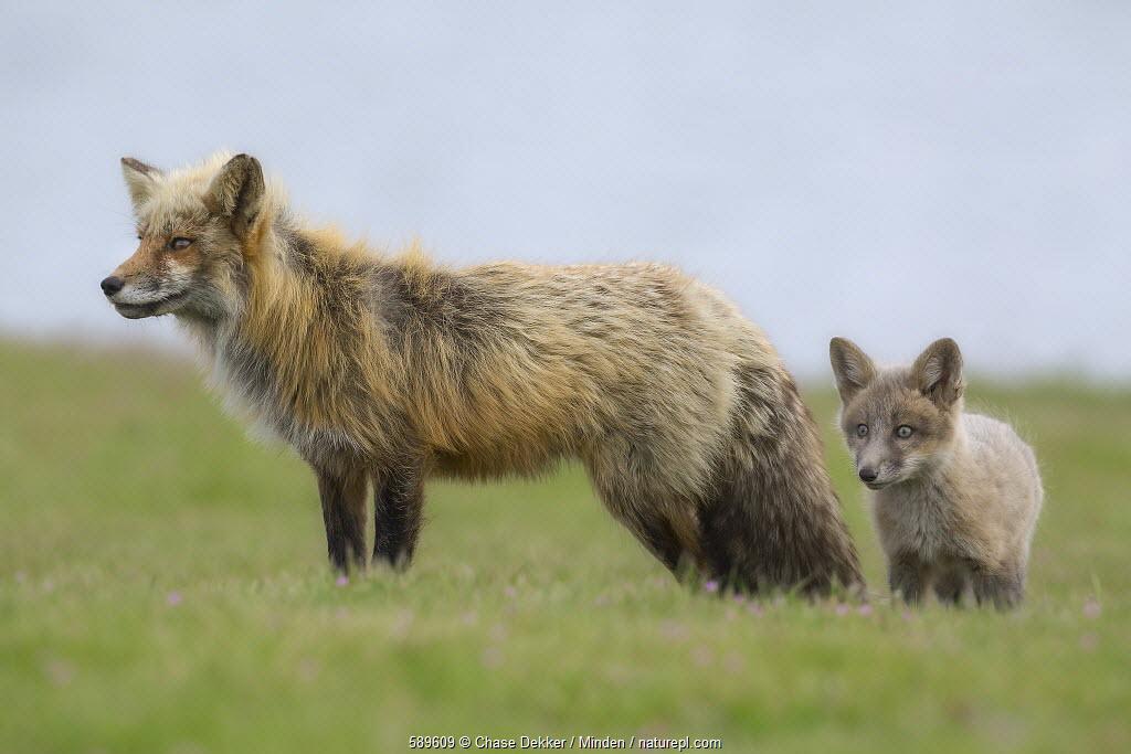 Red Fox (Vulpes vulpes) father and kit, Washington