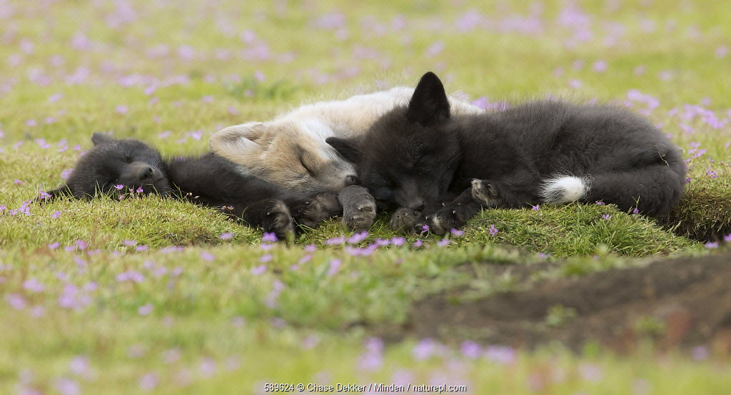 Red Fox (Vulpes vulpes) kits sleeping, Washington