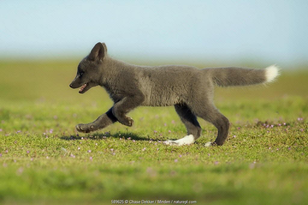 Red Fox (Vulpes vulpes) kit running, Washington