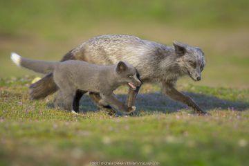 Red Fox (Vulpes vulpes) father and kit running, Washington