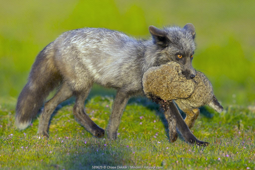 Red Fox (Vulpes vulpes) male carrying European Rabbit (Oryctolagus cuniculus) prey, Washington