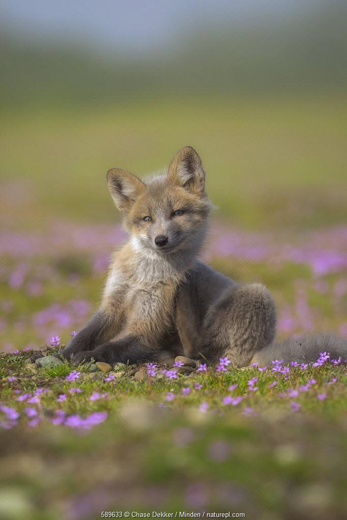 Red Fox (Vulpes vulpes) kit scratching itself, Washington