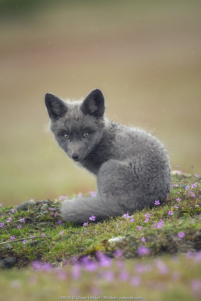 Red Fox (Vulpes vulpes) kit, Washington