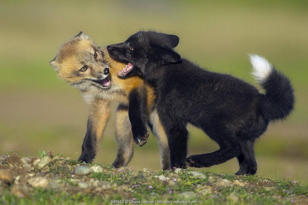 Red Fox (Vulpes vulpes) kits playing, Washington