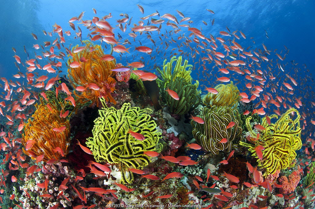 Sea Goldie (Pseudanthias squamipinnis) school in coral reef with feather stars, Great Barrier Reef, Queensland, Australia
