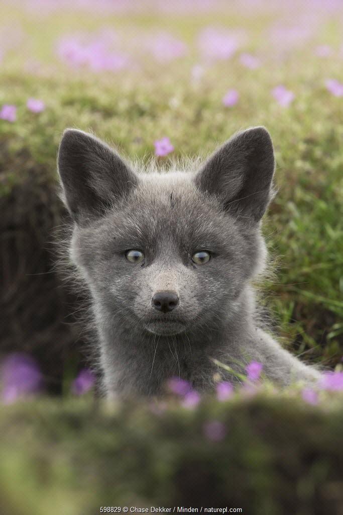 Red Fox (Vulpes vulpes) kit at den entrance, Washington
