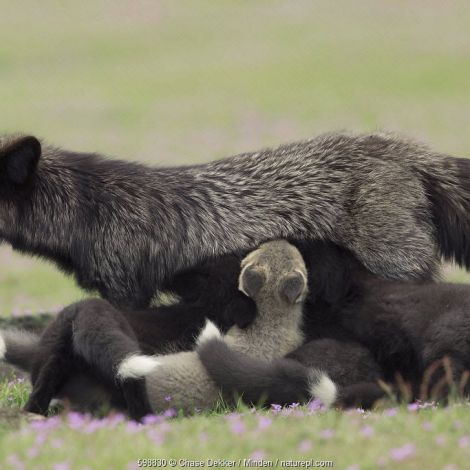 Red Fox (Vulpes vulpes) mother nursing kits, Washington