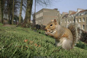 Grey squirrel in Brandon Hill Park, Bristol, England, UK