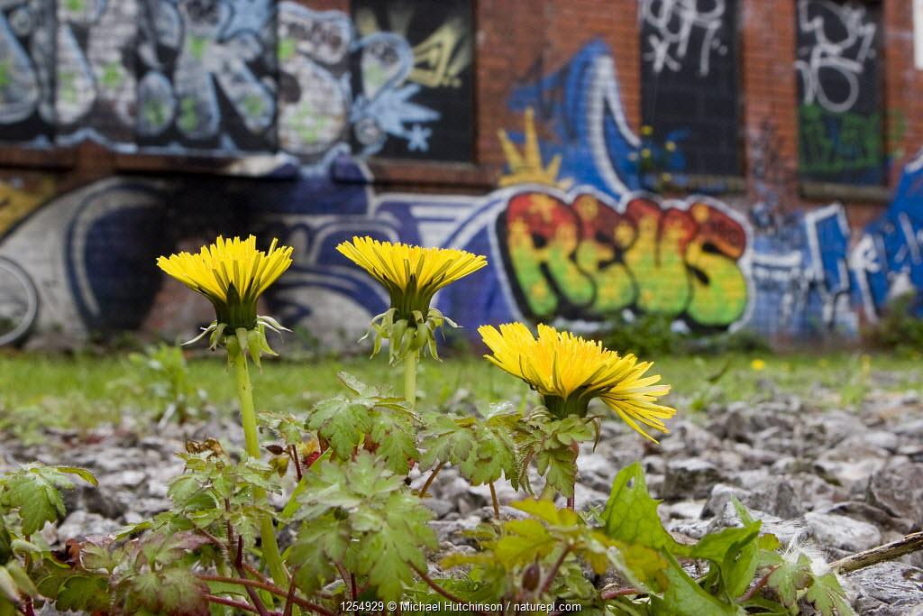 Dandelion (Taraxacum sp) growing on wasteland by derelict, graffiti-covered building, Bristol, UK