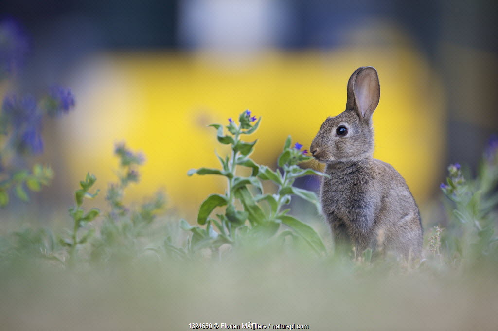Young European rabbit (Oryctolagus cuniculus) near busy road, Haselhorst, Berlin, Germany, June 2008