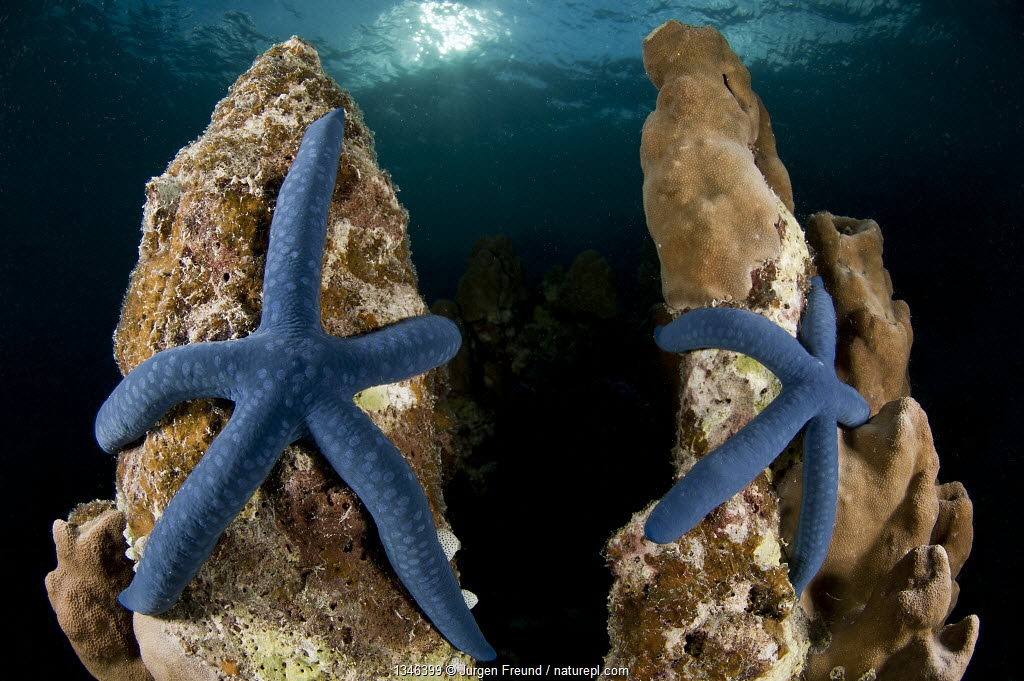 Blue linkia starfish (Linckia laevigata) pair attached to the dead part of coral, New Ireland, Papua New Guinea