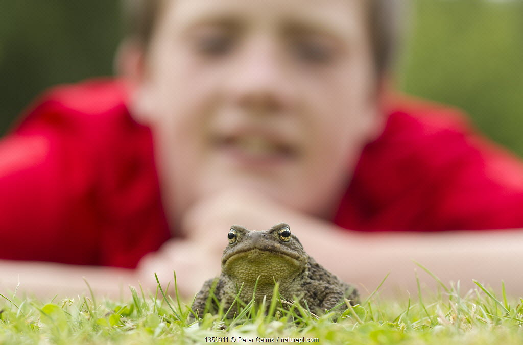 Common european toad (Bufo bufo) in garden with young boy watching it, Scotland, UK