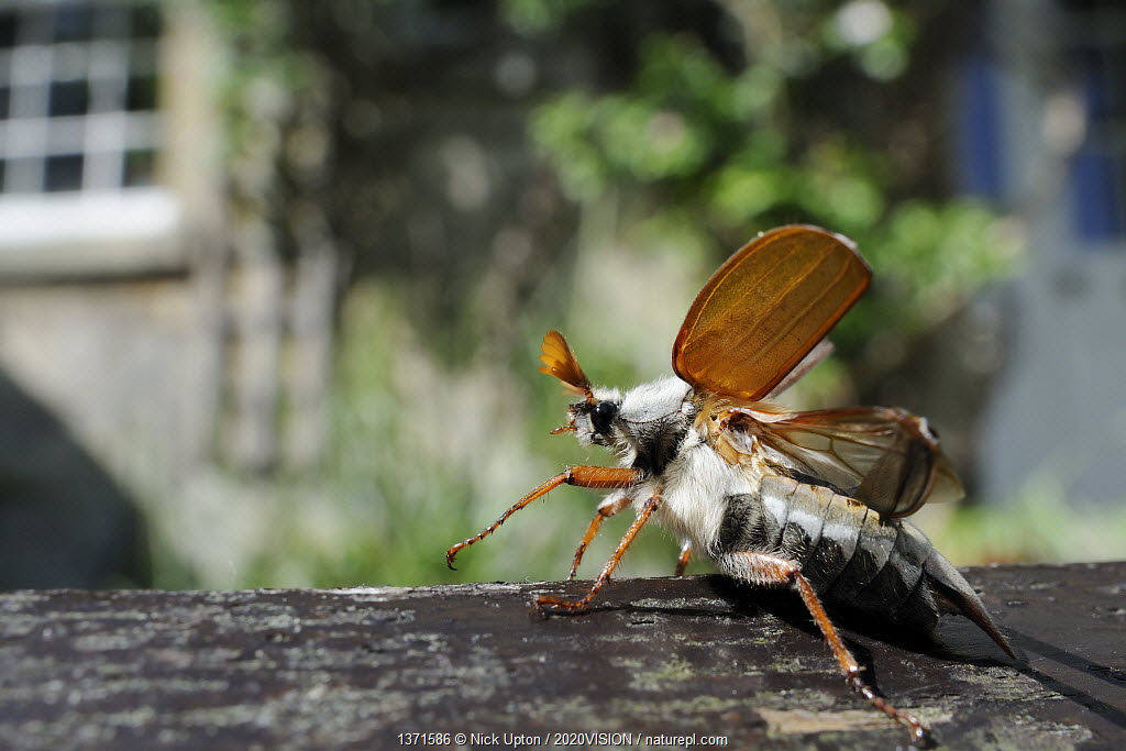 Common cockchafer / Maybug (Melolontha melolontha), opening its wings to take off from garden bench with house in background, Wiltshire, England, UK, May