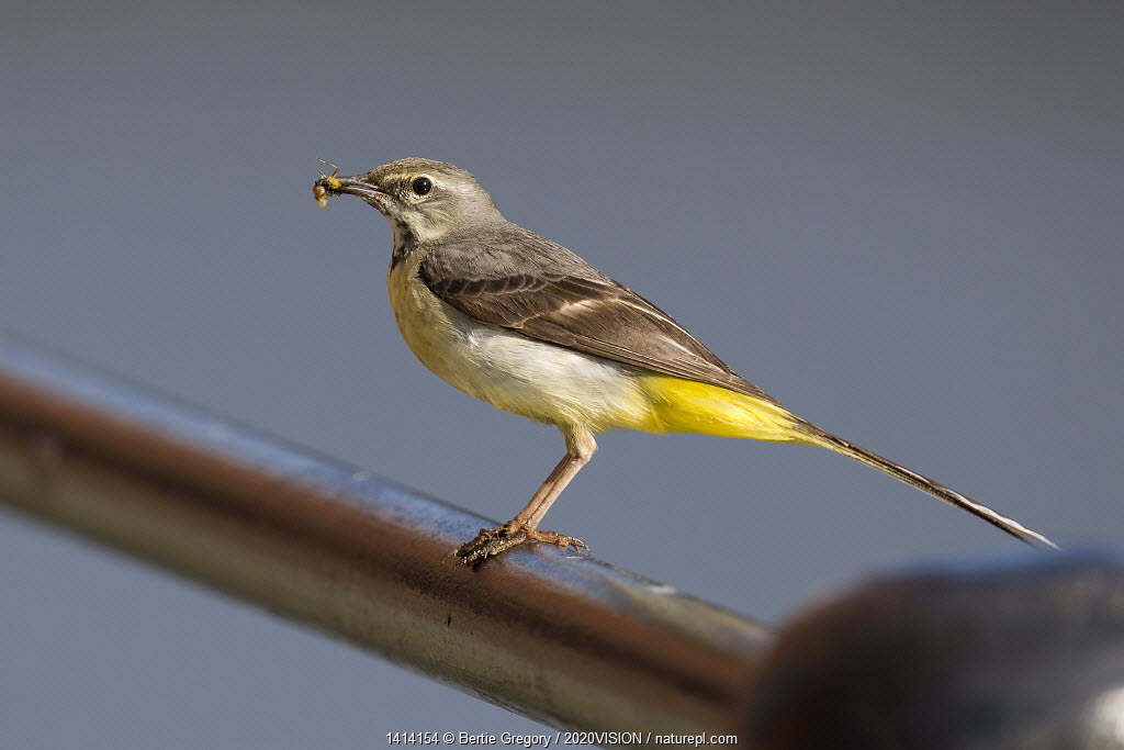 Adult female Grey wagtail (Motacilla cinerea) perched on a metal rail with insect prey, Bristol, England, UK, June.