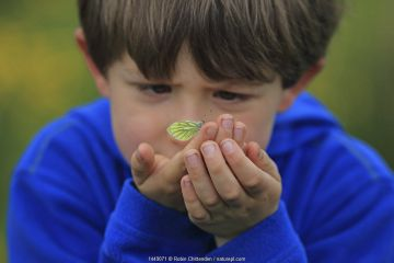 Boy looking at Green-veined White butterfly (Pieris napi) on his hand, Dorset, UK, May 2013, Model released.