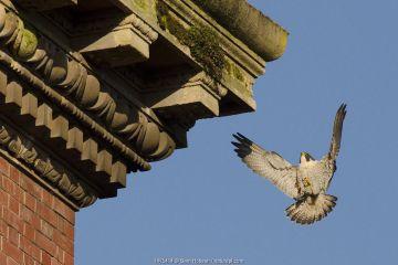 Peregrine falcon (Falco peregrinus), adult male landing on building. Bristol, UK. March.