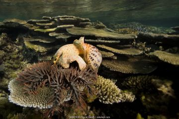 Giant triton (Charonia tritonis) eating a Crown-of-thorns starfish (Acanthaster planci) at night. New Caledonia. Pacific Ocean.