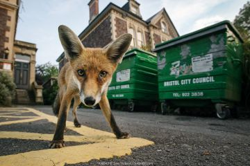 Young urban Red fox (Vulpes vulpes) standing in front of Bristol City Council dustbins. Bristol, UK, September.