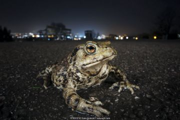 Common toad (Bufo bufo) with urban lights behind, Bristol, UK. March.