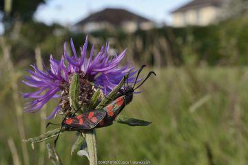 Six spot burnet moths (Zygaena filipendulae) mating on Common knapweed (Centaurea nigra) in a perennial wildflower meadow planted on an urban common by Bristol University's Urban Pollinators project, Horfield, Bristol, UK, July.
