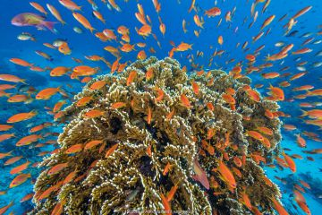 RF - A vibrant Red Sea coral reef scene, with orange female Scalefin anthias fish (Pseudanthias squamipinnis) teeming over Fire coral (Millepora dichotoma) feeding on plankton brought to the reef by currents. Ras Mohammed Marine Park, Sinai, Egypt. (This image may be licensed either as rights managed or royalty free.)