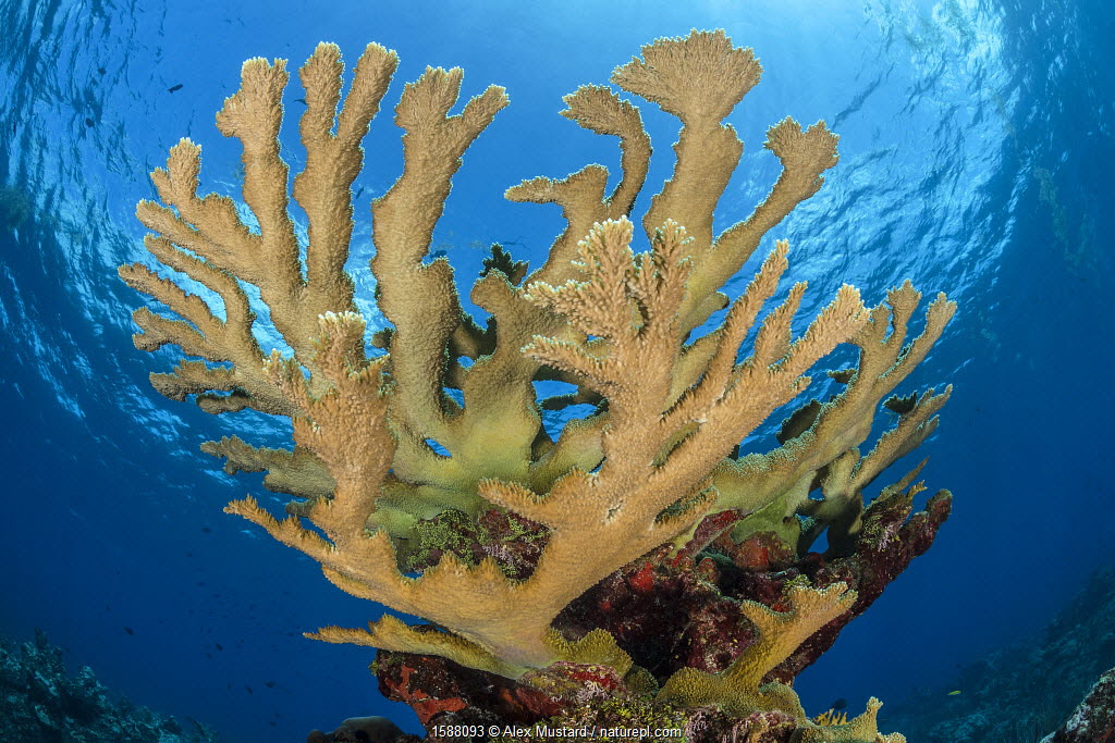 View of a colony of Elkhorn coral (Acropora palmata) growing on a coral reef. The growth in this photo represents 12 year's growth since Hurrican Ivan in 2004, which levelled the colony. East End, Grand Cayman, Cayman Islands. British West Indies. Caribbean Sea.