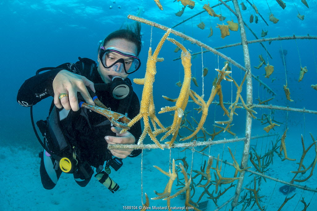 Diver fragmenting a growing piece of Staghorn coral (Acropora cervicornis) hung on coral propagation tree, as part of a coral conservation nursery project. East End, Grand Cayman. Cayman Islands, British West Indies. Caribbean Sea.