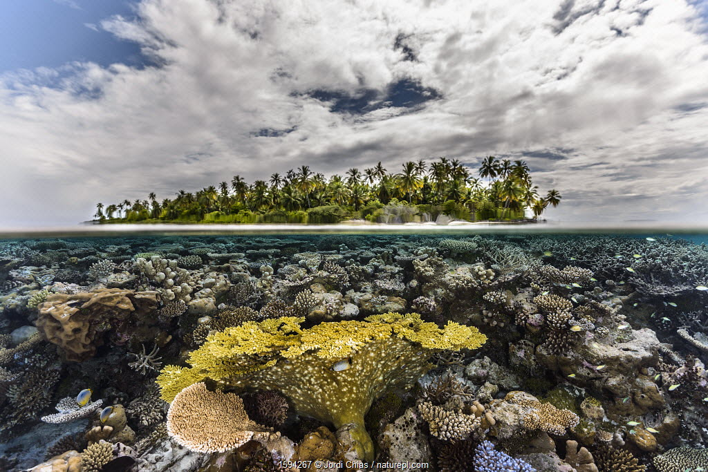 Table coral reef in shallow waters, Gaafu Alifu Atoll, Maldives, Indian Ocean.