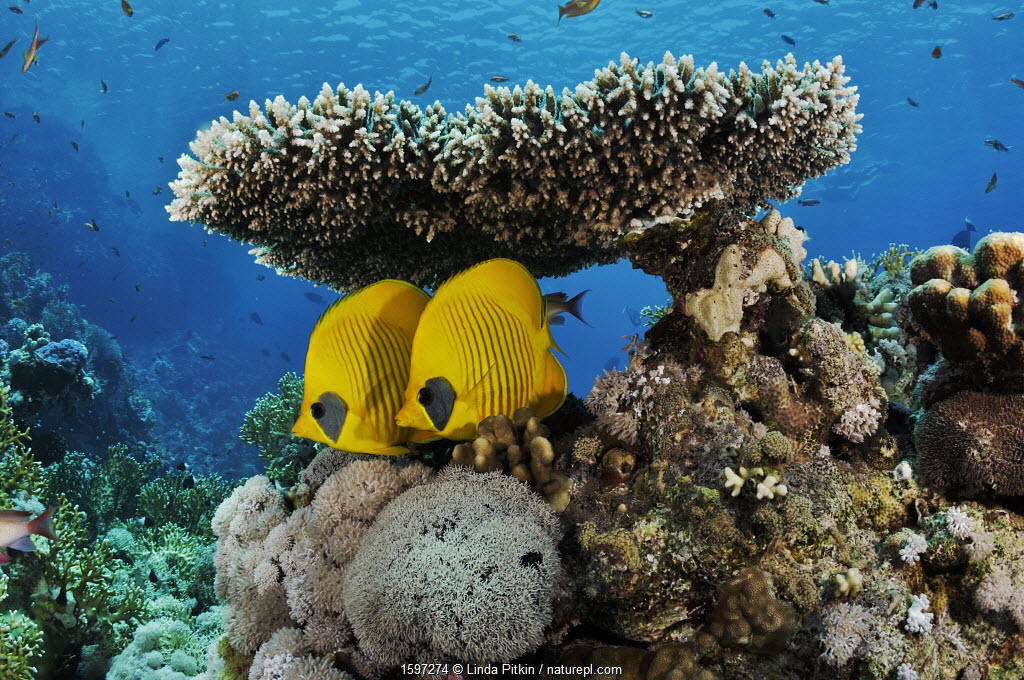 Masked butterflyfish (Chaetodon semilarvatus), pair sheltering under table coral (Acropora) Shark Reef to Jolande, Ras Mohammed National Park, Egypt, Red Sea.