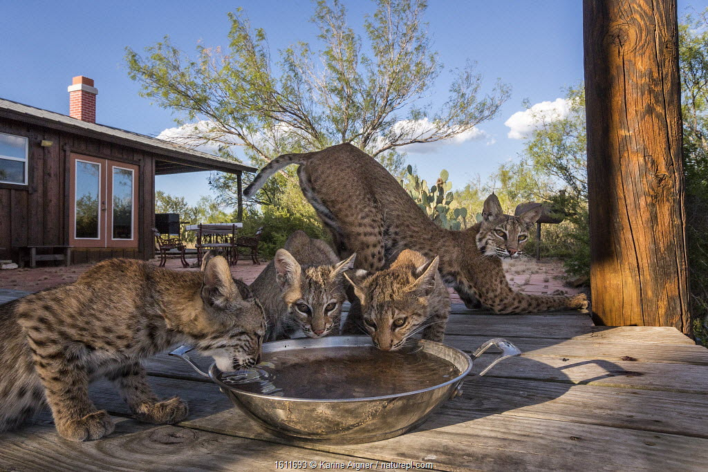 Wild Bobcat (Lynx rufus) family of three cubs drinking water from bowl, with mother stretching . The mother chose to make her den underneath the house. Texas, USA, August. Taken with remote camera.