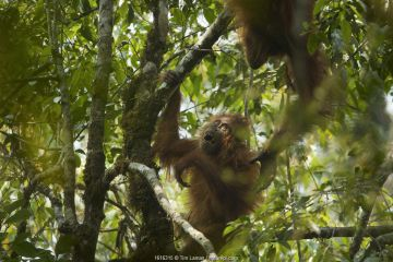 Tapanuli Orangutan (Pongo tapanuliensis) Beti, juvenile female approximate age 6 years, playing in tree with mother, Beta, Batang Toru Forest Sumatran Orangutan Conservation Project North Sumatran Province, Indonesia.