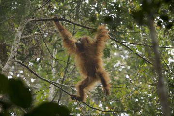 Tapanuli Orangutan (Pongo tapanuliensis) Beti, juvenile female, daughter of Beta, in the trees, Batang Toru Forest, Sumatran Orangutan Conservation Project, North Sumatran Province, Indonesia
