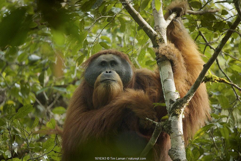 Tapanuli orangutan (Pongo tapanuliensis) Togus, adult flanged male, Batang Toru Forest. Sumatran Orangutan Conservation Project, North Sumatran Province, Indonesia.