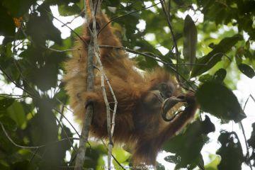 Tapanuli Orangutan (Pongo tapanuliensis) Beti, juvenile female, daughter of Beta, drinking from Pitcher plant. Batang Toru Forest, Sumatran Orangutan Conservation Project, North Sumatran Province, Indonesia