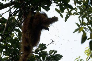 Tapanuli Orangutan (Pongo tapanuliensis) Beta, adult female, mother of Beti, feeding on caterpillars in tree. Batang Toru Forest, Sumatran Orangutan Conservation Project, North Sumatran Province, Indonesia