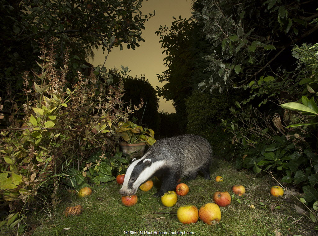Badger (Meles meles) eating apples in urban garden. Sheffield, England, UK. October.