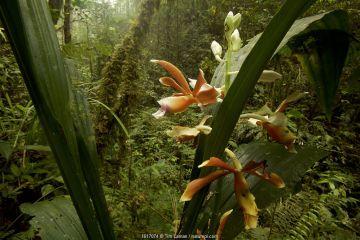 Orchid flowering in Sumatran rainforest, Batang Toru Forest. Sumatran Orangutan Conservation Project, North Sumatran Province, Indonesia.