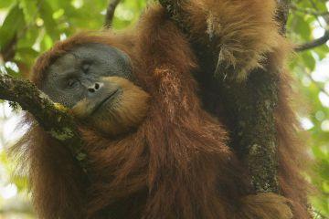 Tapanuli Orangutan (Pongo tapanuliensis). Togus, adult flanged male, trying to nap in tree. Batang Toru Forest, Sumatran Orangutan Conservation Project, North Sumatran Province, Indonesia.