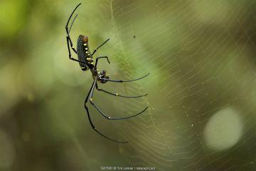 Giant Orb Weaver Spider (Nephila sp.) Batang Toru Forest, Sumatran Orangutan Conservation Project, North Sumatran Province, Indonesia