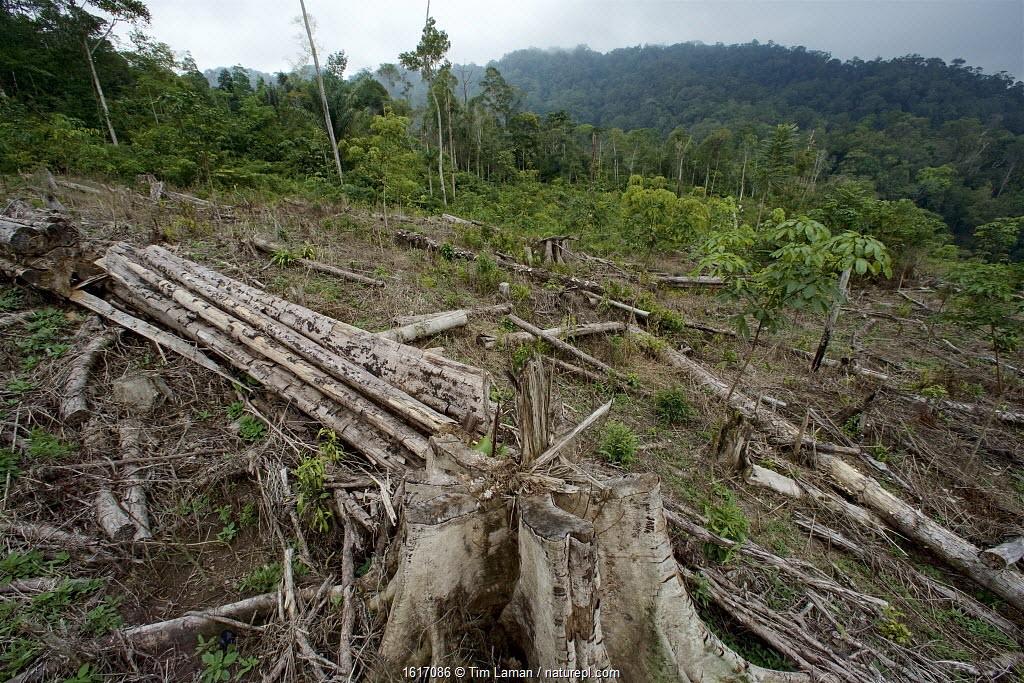 Clear cutting at edge of forest, Batang Toru Forest, Sumatran Orangutan Conservation Project, North Sumatran Province, Indonesia.