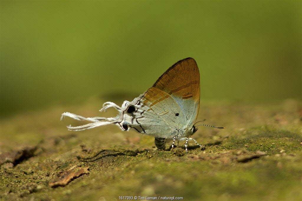 Neocheritra sp. butterfly (thought to be Neocheritra amrita), side view. Batang Toru Forest, Sumatran Orangutan Conservation Project, North Sumatran Province, Indonesia