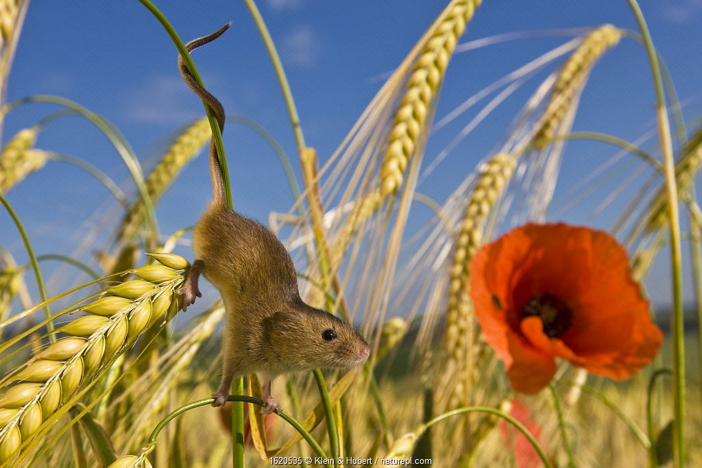 Harvest mouse (Micromys minutus) in wheat field with poppy (Papaver rhoeas) in summer - prehensile tail. France. June.