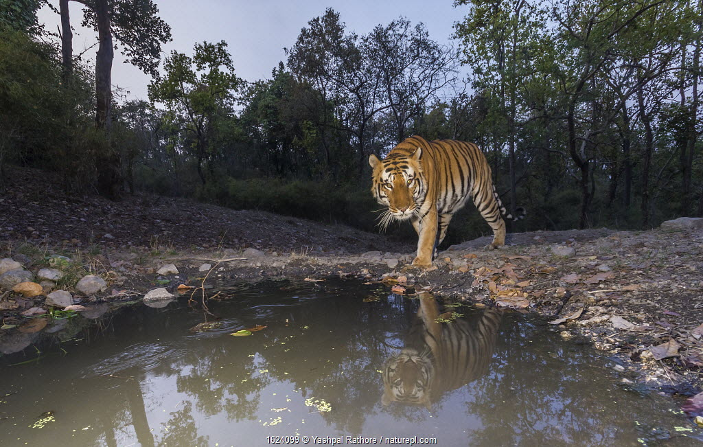 Bengal tiger (Panthera tigris tigris) dominant male approaching 'Beja pani' waterhole, Kanha National Park, Central India. Camera trap image.
